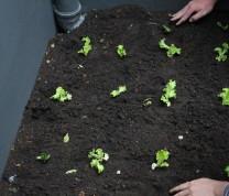 Community Center Gardening Planting Lettuce