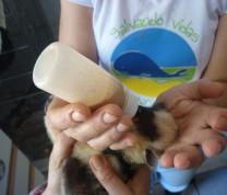 Wildlife Conservation Feeding Quati Baby